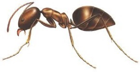 Ant Removal Services Citrus Heights CA | Parish Termite & Pest Mgmt - AregentineAnt
