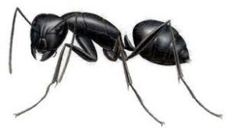 Ant Removal Services Citrus Heights CA | Parish Termite & Pest Mgmt - CarpenterAnt