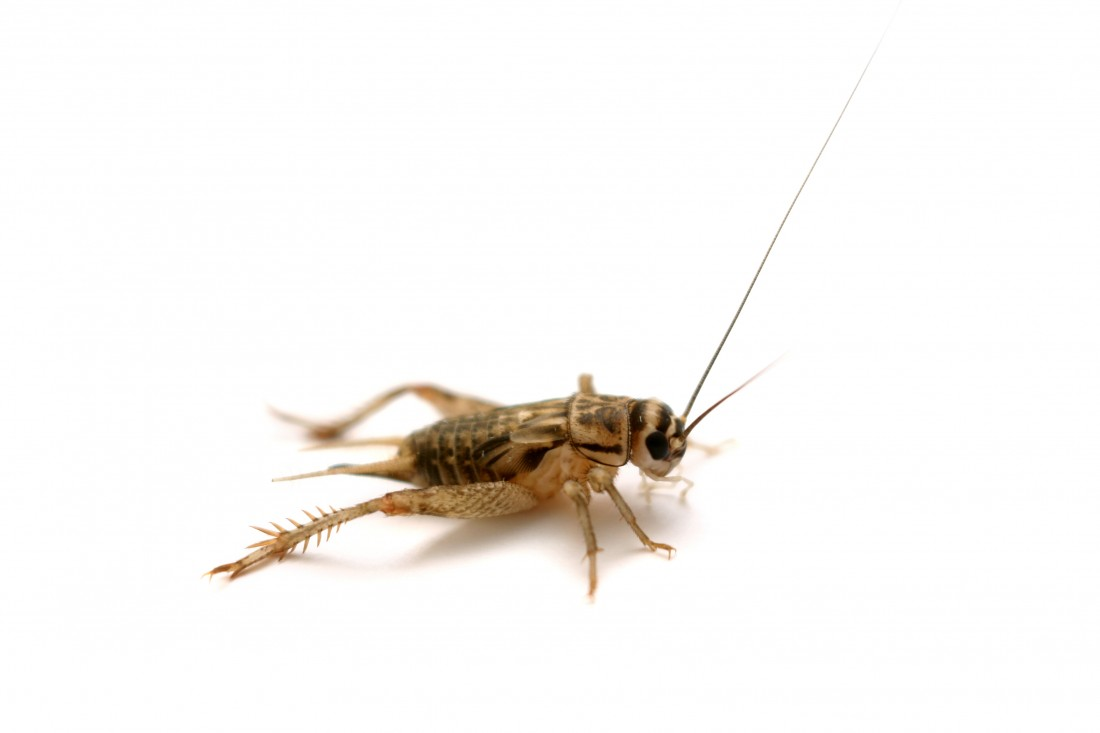 Silverfish & Earwig Control Citrus Heights CA | Parish Pest Mgmt - CricketHouse