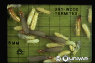 Termites - Parish Termite & Pest Management, Inc. - Drywood_Termites
