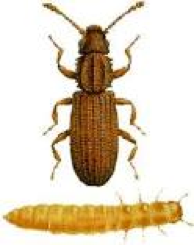 Pantry Pests: Beetle & Moth Extermination | Parish Pest Mgmt - GrainBeetle