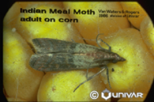 Pantry Pests: Beetle & Moth Extermination | Parish Pest Mgmt - IndianMealMoth