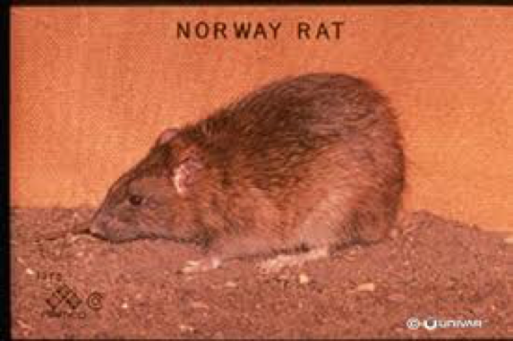 Rodent Control Citrus Heights CA: Rats & Mice | Parish Pest Mgmt - NorwayRat