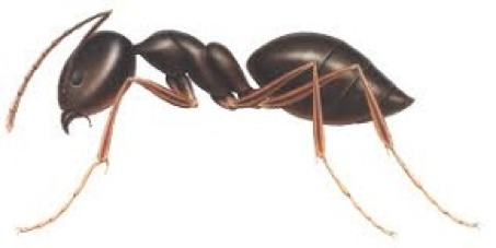 Ant Removal Services Citrus Heights CA | Parish Termite & Pest Mgmt - OdorousHouseAnt