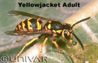 Bee & Wasp Removal Citrus Heights CA | Parish Termite & Pest Managment - YELLOWJACKET