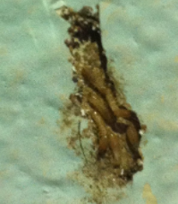 Termite Inspection Services Yuba City CA - Parish - subterranean-termites